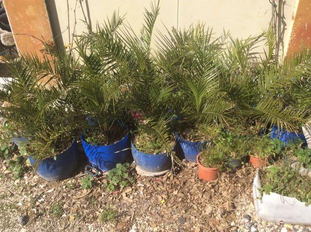 palmeiras pequenas