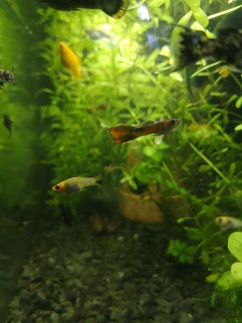 Molinezja ryba akwariowa