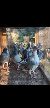 Staropolskie , ptaki , golebie staropolskie.