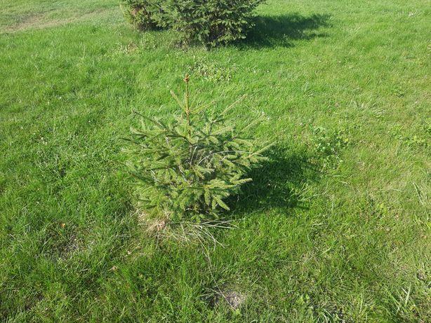 Sprzedam drzewka !!!