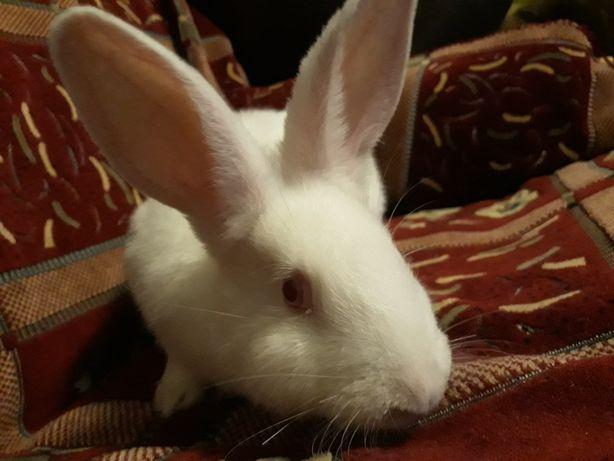 Продам кролики Термондцы белые