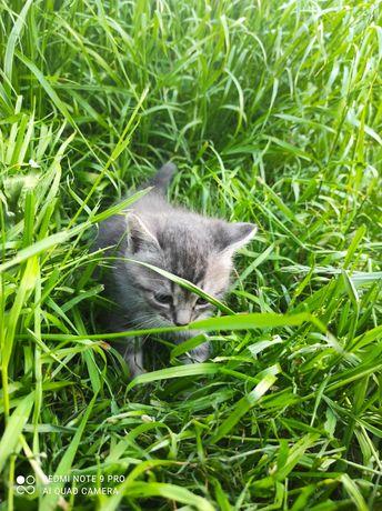 Кошеня (котик) кішка