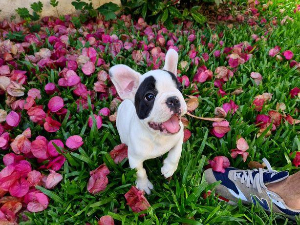Cachorro Bulldog francês