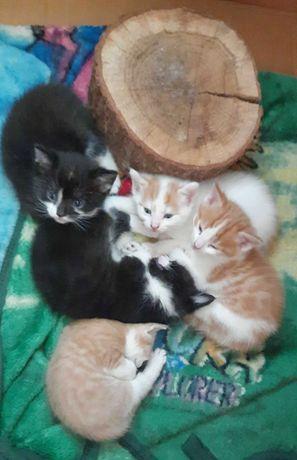 Kot Norweski Leśny (półrasowe) kocięta