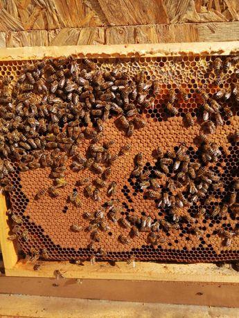 Matki pszczele Alpejka,Macedonka,Bucfast Gz ,Kb,odkłady,węza pszczela