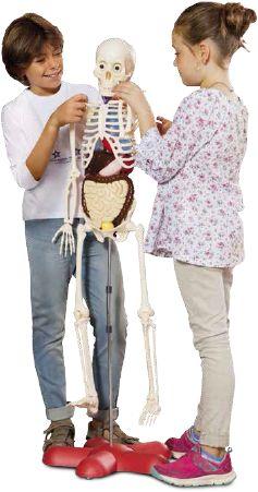 Szkielet ciało człowieka części kostek