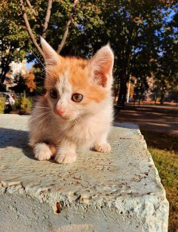 Отдам персикового котенка ,девочка , 1,5 месяца