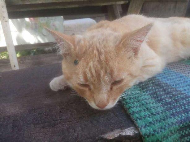 Приговорённый на усыпление рыжий кот, 8 лет