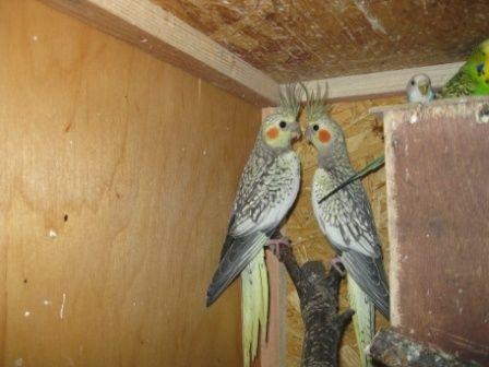Papugi nimfy, klatka dla papug