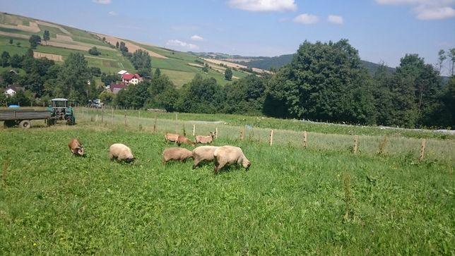 SPRZEDAM!!! Owce Kameruńskie, Barany, Tryki, Owieczki, BARBADOS
