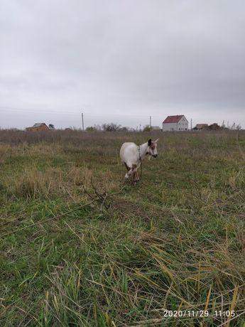 СРОЧНО коза на мясо!