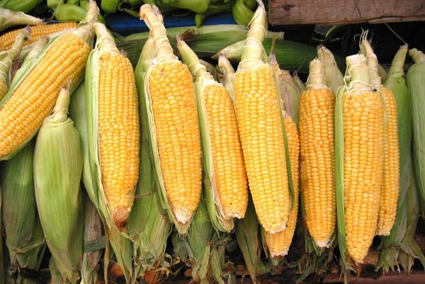 Kukurydza 32.266 Fao 250 50 tys nasion