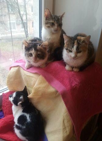 Котёнок девочка трехцветная