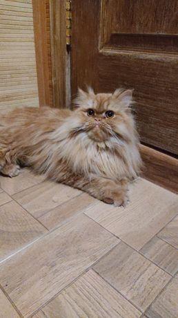 Отдадим кошку перс классик