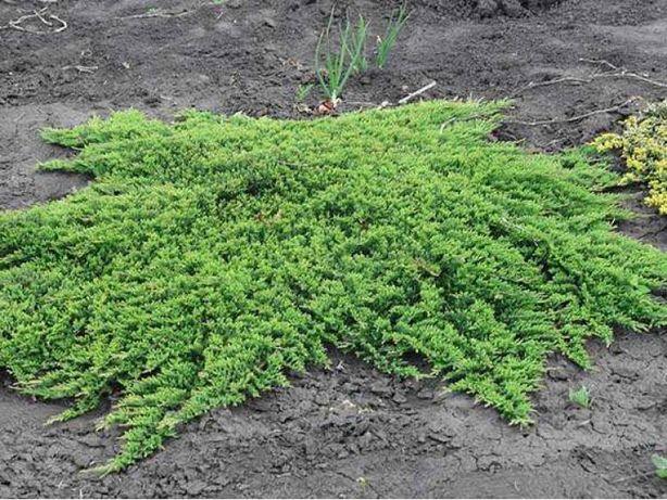 Jałowiec płożący Prince of Wales zielony dywan