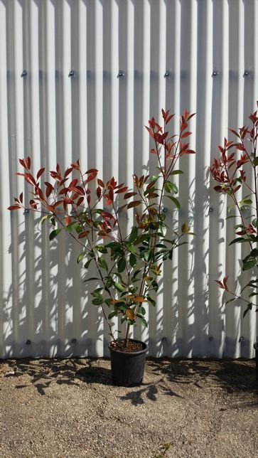 200 photinias