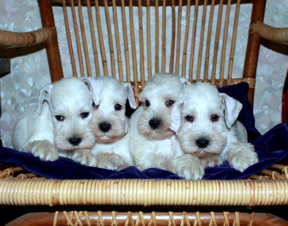 Супер-щенки цвергшнауцера белого окраса!