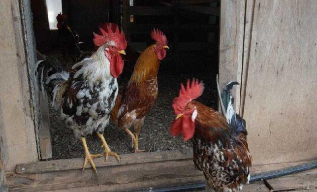ovos fecundados de galinhas do campo