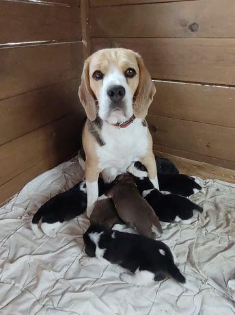 Piekne szczenięta Beagle