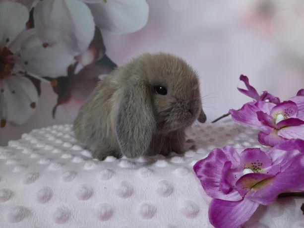 Hodowla królików mini lop