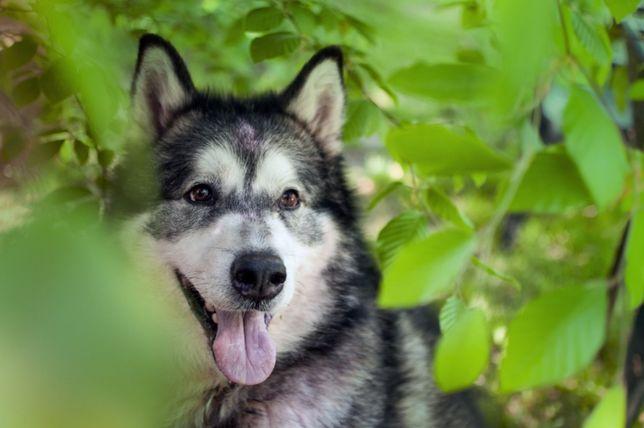 Axel - duży malamute do adopcji