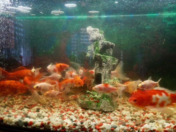 Karaś rybki ozdobne