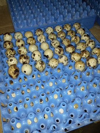 Інкубаційне яйце перепілок. Техас