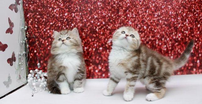 Супер ласковые шотландские котята(вислоушки\прямоушки).