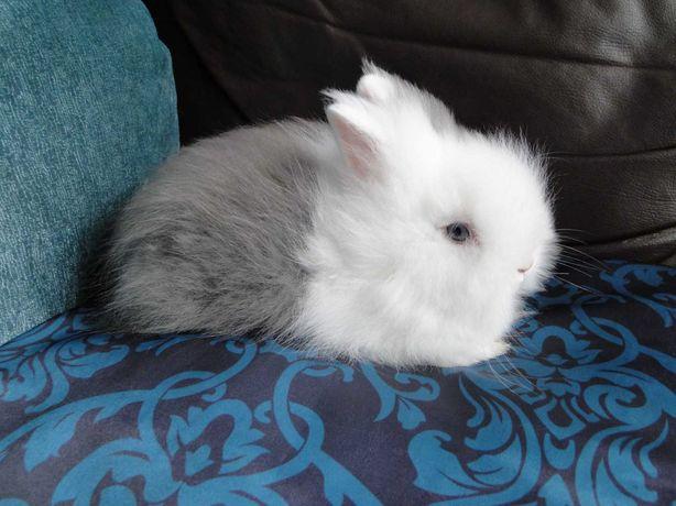 Vendo kit coelhos anões anões