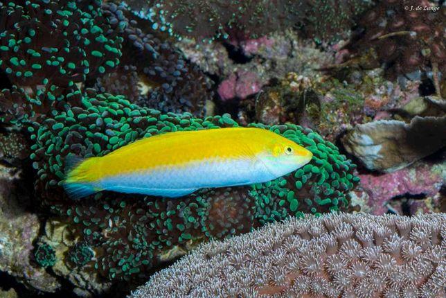 Morskie - halichoeres leucoxanthus m