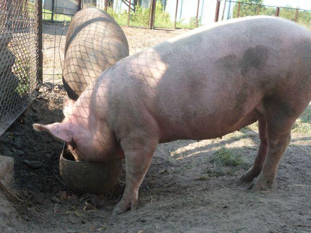 Свинья на держание