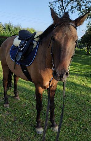Dzierżawa konia koń hucuł 145cm