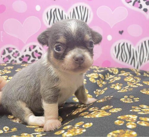 Chihuahua błękitne suczki i piesek!