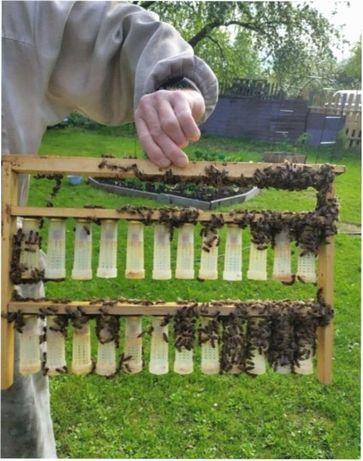 Запліднена Пчеломатка Карпатянка Породы Карпатка матка