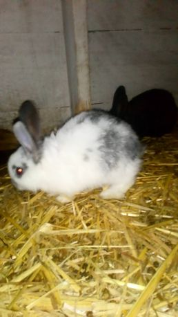 Młode króliki samce samice