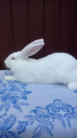 Кролики. Кроли. термонская белая ,чистокровные на племя.