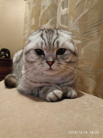 пропал кот шотландский вислоухий