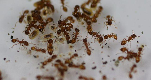 Mrówki termatorax sp
