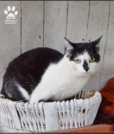 Znaleziono biało czarnego kota-Cytrus gotowy do adopcji