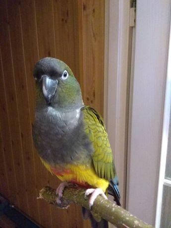 Zaginęła papuga Dziubek