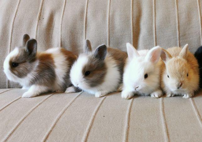 KIT completo coelhos anões mini holandês e teddy desparasitados
