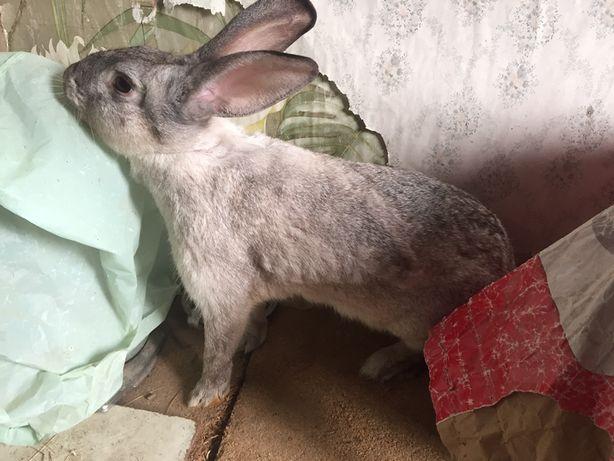 Coelha Gigante para venda