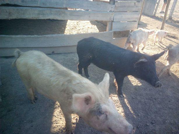 porco muito . 6-10kg 25euro  10kg + 35 euro