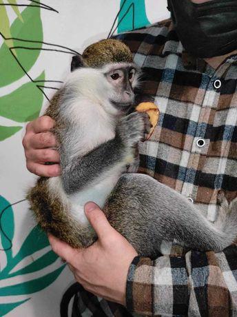 Продается зеленая мартышка (обезьяна)