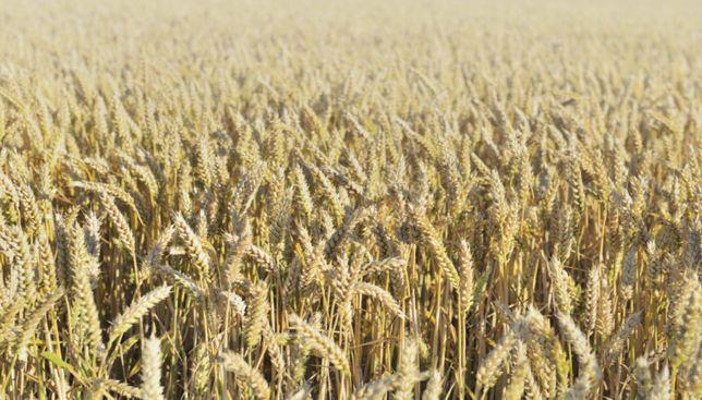Sprzedam Pszenica ozima lub Jeczmien jary Wieksza ilosc pszenzyto