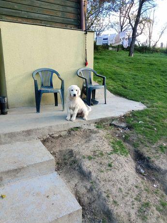 Owczarek podhalański pies 4 miesiące