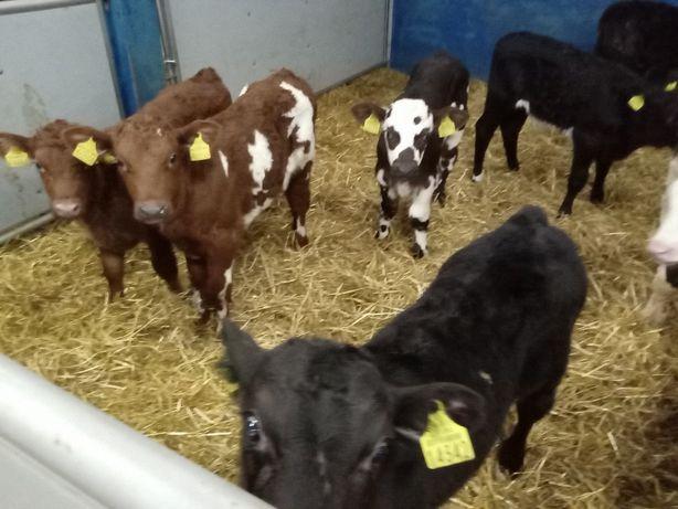 Jałówki mleczne HF, Byczki Mięsne, Cielęta MM, różnych ras