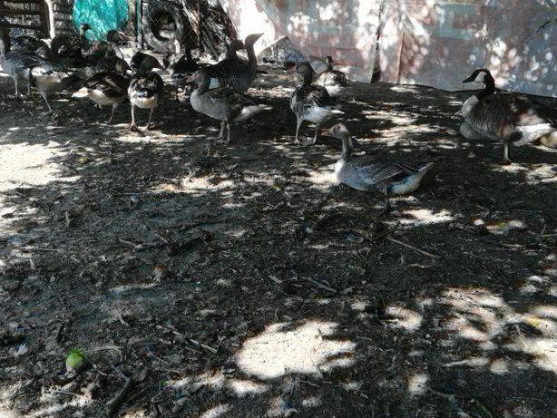 Gęsi gegawy ptaki