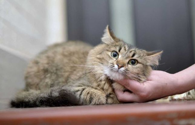 отдам кошку, стерилизована, спокоойная нежная девочка.