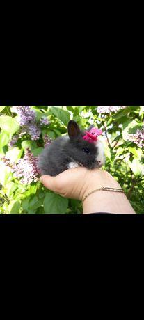 A1 króliczek TEDDY KARZEŁEK miniaturka mini lop NIEBIESKI królik wypra